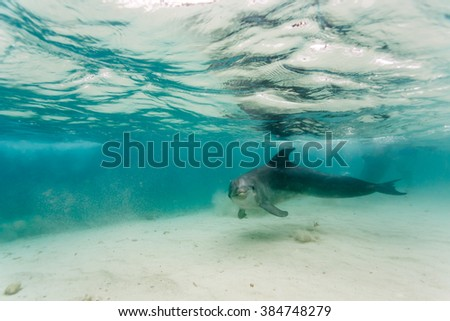 Bottlenose Dolphin swimming in shallow waters in Caribbean stirs up sand as he passes close by