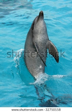 Bottlenose dolphin tail walking in the blue water