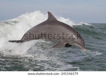 Bottlenose Dolphin (Tursiops truncatus) - stock photo