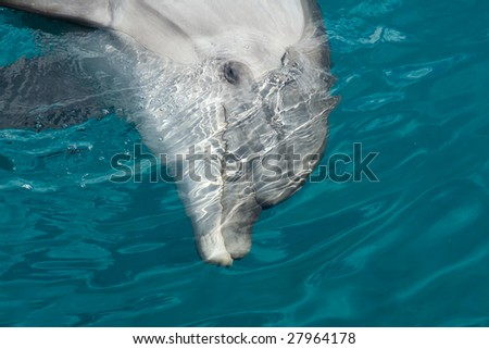Bottlenose Dolphin (Tursiops truncatus) playing in blue waves of the warm sea - stock photo