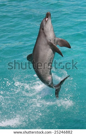 Bottlenose dolphing jumping out of the blue water and showing tongue