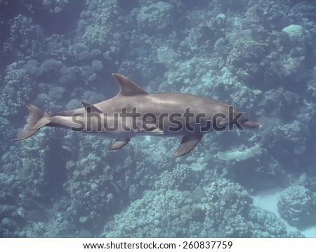 Bottlenose dolphins (baby and mother) swimming over the coral reef in the tropical ocean underwater, selective focus - stock photo