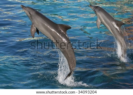 Bottlenose dolphins jumping out of blue water - stock photo