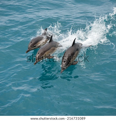 Bottlenose dolphins jumping out of the clear blue water  - stock photo