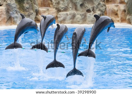 Bottlenose Dolphins leaping over a rope - stock photo