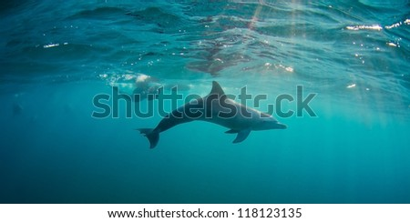 Bottlenose Dolphins swim in shallow waters