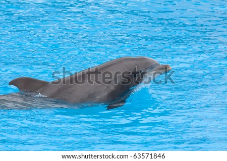 Bottlenose dolpin in the aquarium - stock photo