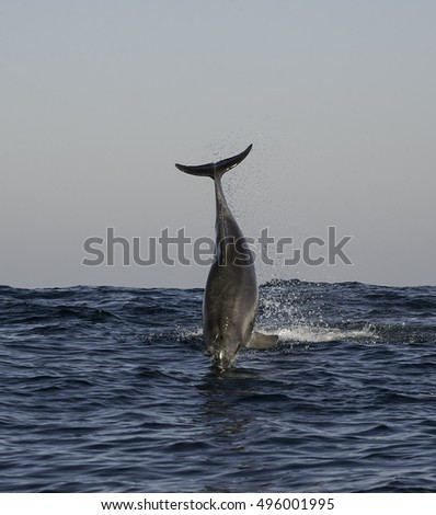 Bottlenosed dolphin breaching along the east coast of South Africa.