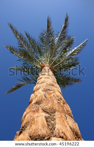 Bottom view of a date palm tree - stock photo