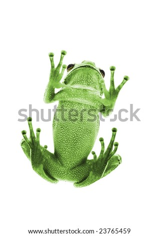 Bottom view of green Tree Frog. Isolated on white background. Shallow DOF. - stock photo