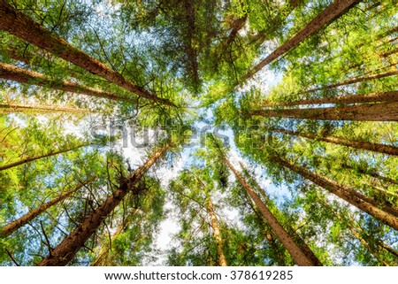 Bottom view of tall old trees in evergreen primeval forest. Jiuzhaigou nature reserve (Jiuzhai Valley National Park), Sichuan province, China. Blue sky in background. - stock photo
