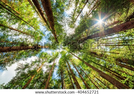 Bottom view of tall old trees in evergreen primeval forest of Jiuzhaigou nature reserve (Jiuzhai Valley National Park), Sichuan province, China. Blue sky with clouds in background. - stock photo