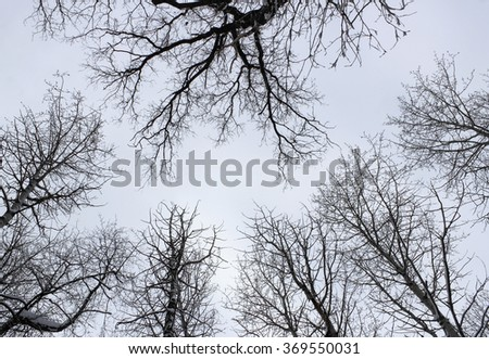 Bottom view on the tops of the trees in winter forest on background cloudy sky - stock photo