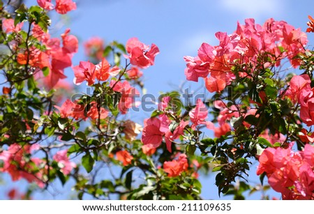 Bougainvilla clusters with blue sky background - stock photo