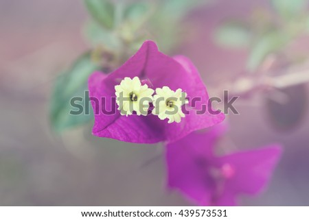 Bougainvillea Alexandra blooming with pink flowers, background. Toned - stock photo