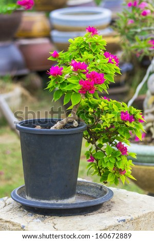 bougainvillea blooming in pot it beautiful for the ornamental