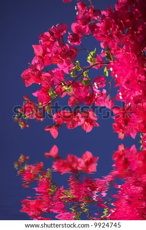 Bougainvillea blossoms - stock photo