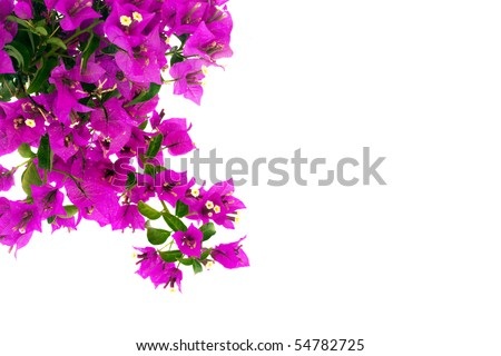 Bougainvillea Branch - stock photo
