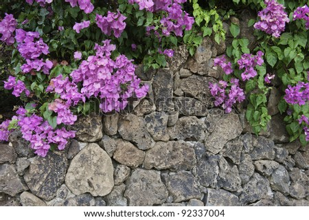 Bougainvillea cascades over rock wall - stock photo