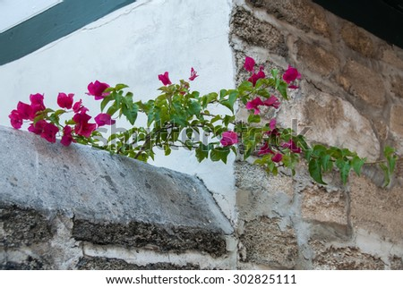 Bougainvillea climbing over a stone wall in old town St. Augustine, Florida. - stock photo