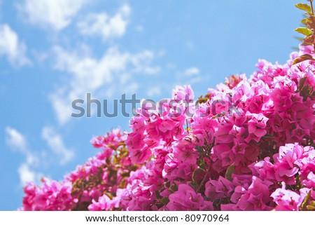 Bougainvillea flower over blue sky - stock photo
