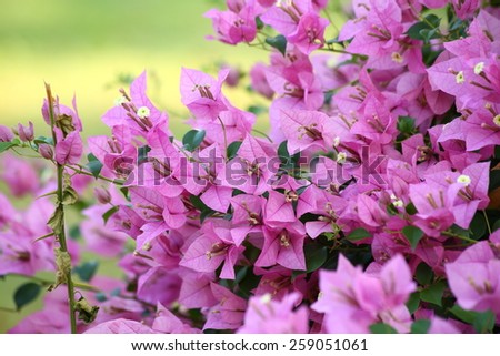 Bougainvillea flowers - stock photo