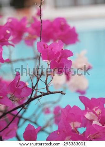 bougainvillea flowers - stock photo