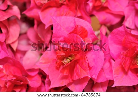 Bougainvillea flowers close up background
