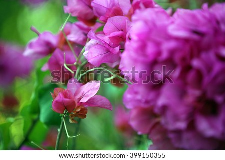 Bougainvillea flowers pictured in San Fernando Valley in Los Angeles, California.  - stock photo