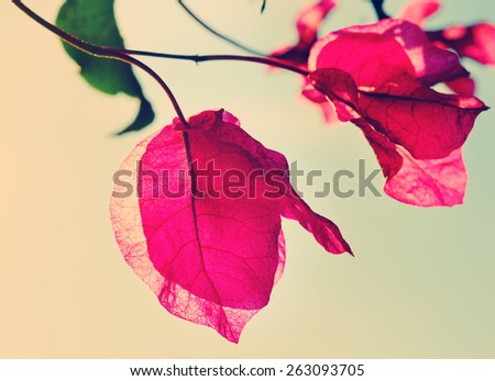 Bougainvillea in bloom in the soft summer afternoon sun, retro style, nature scene - stock photo