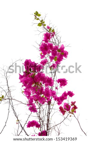 Bougainvillea isolated - stock photo