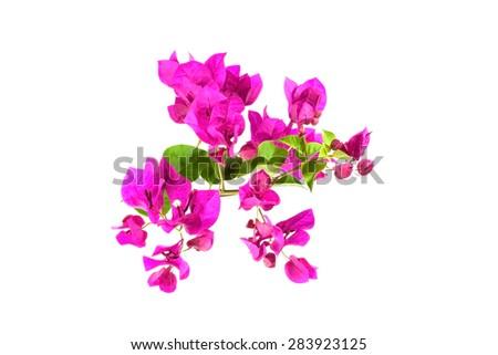 Bougainvillea on white background ,Provincial flower of phuket thailand - stock photo