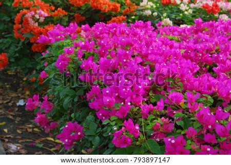 Bougainvillea perennial bush thorns trunk single stock photo bougainvillea perennial bush the thorns up the trunk single leaves alternate with slightly raised hairs mightylinksfo