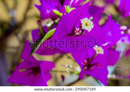 Bougainvillea spectabilis flower detail. Native to Brazil, Bolivia, Peru, and Argentina. Bougainvilleas are a genus of thorny plants, worldwide used as ornamental plants.