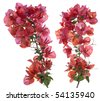 Bougainvillea with red blossoms isolated on white background. - stock photo