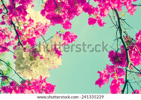 Bougainvilleas or Paper flower treetop in vintage color - stock photo