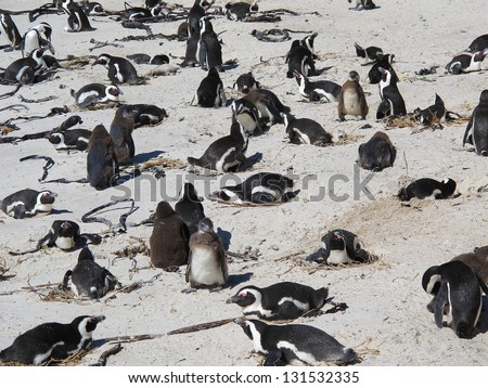 Boulders Beach Penguin Colony in Table Mountain National Park, Cape Town - stock photo