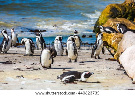 Boulders Penguin Colony in the Table Mountain National Park. African black-white penguins. Animals in South Africa - stock photo