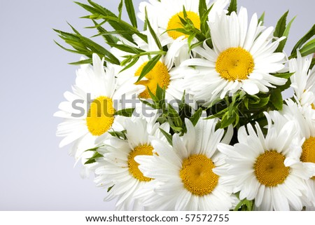 bouquet daisywheel on gray background - stock photo