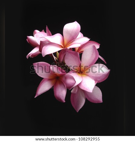 bouquet frangipani flower on back background - stock photo