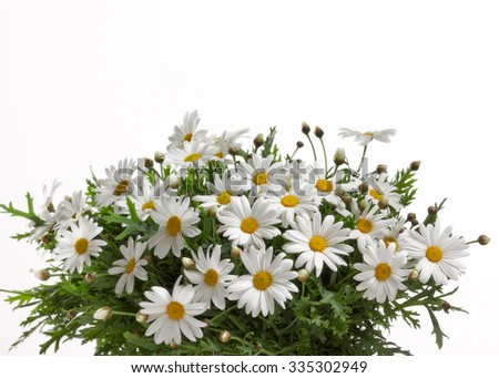 bouquet from camomile on white background