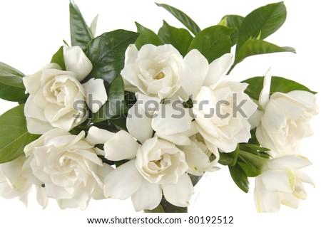 bouquet gardenia plant isolated on white; - stock photo
