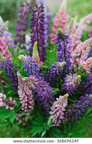 Bouquet of a wild colorful blooming lupin - stock photo