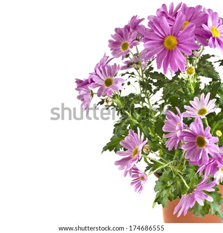 bouquet of beautiful chrysanthemum flower plant potted isolated on white background  - stock photo