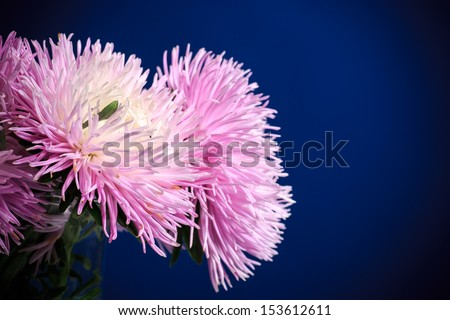 bouquet of beautiful pink asters on a blue background