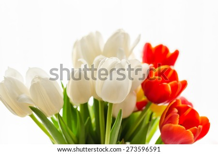 Bouquet of beautiful spring blurry red, white and yellow tulips on white background. Lovely spring season sunny colorful flowers with soft color filter and selective focus with place for text message. - stock photo