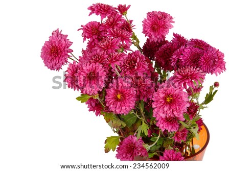 Bouquet of burgundy chrysanthemum flowers isolated on white background - stock photo