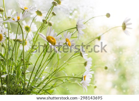Bouquet of chamomiles - stock photo