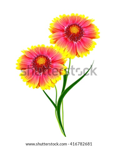 Bouquet of colorful flowers of Gaillardia. delicate flowers isolated on white background - stock photo