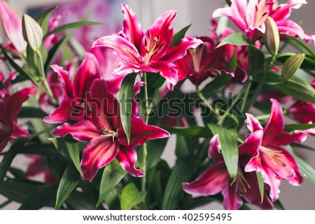 Bouquet of dark pink lilies in a glass vase macro - stock photo